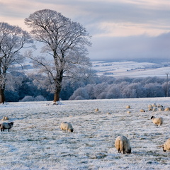 Frosty sheep