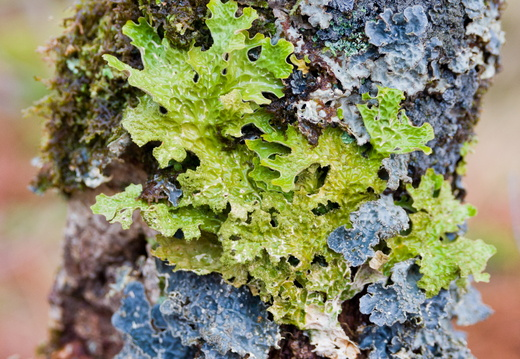 Tree lungwort, Lobaria pulmonaria, Glen Etive