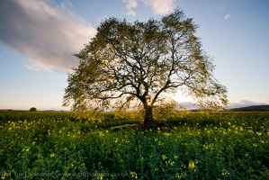 Lone tree in oilseed rape (Canola) field