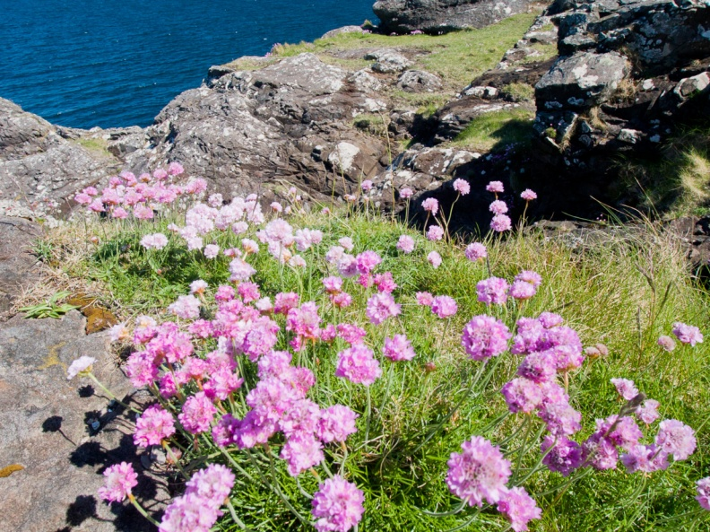 Pink sea Thrift flowers, Ardnamurchan, Scotland