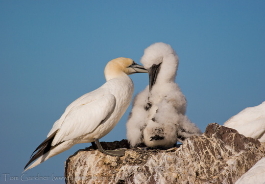 Adult gannet (Sula bassanus) feeding its chick