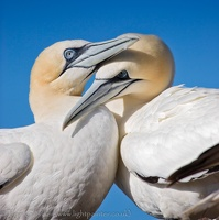 Adult gannet couple (Sula bassana) against the blue sky