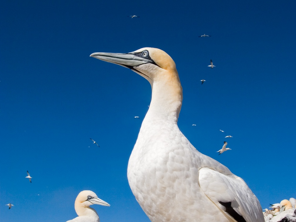 Adult gannet  (Sula bassana) against the sky