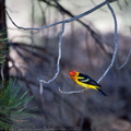 Western Tanager, Piranga ludoviciana, Lake Tahoe area, Nevada