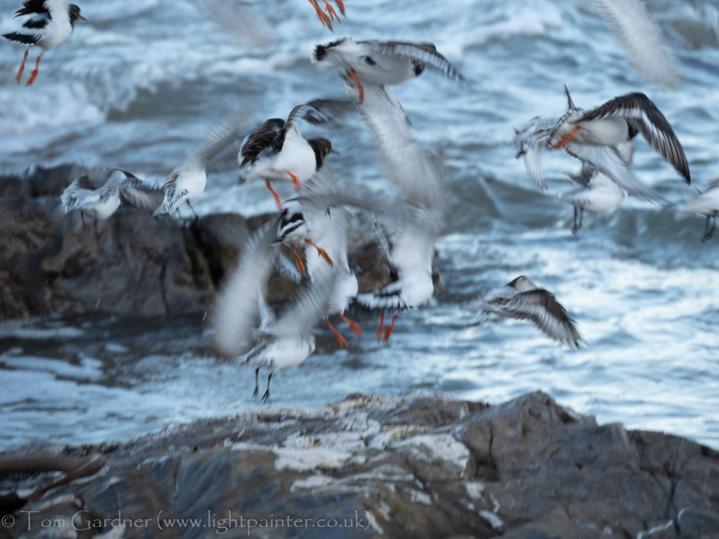 Turnstones and Sanderlings scrambling