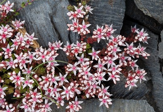 Stonecrop growing on slate, Easdale Island