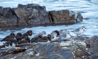 Ruddy Turnstones and Sanderlings, Northumberland